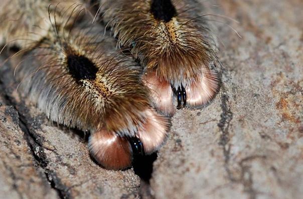 Как думаете, у какого животного такие трогательные пушистые лапки Нет, не у котят. На самом деле это лапки пауков! Забавно, но они похожи одновременно на кошачьи и верблюжьи. Кстати, именно