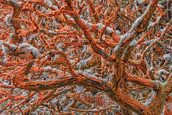 «Ржавчина» на деревьях
