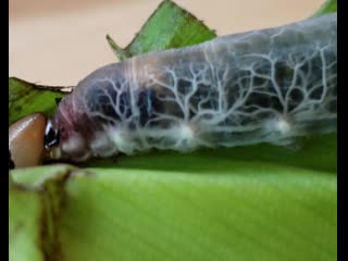 Brazilian skipper caterpillar