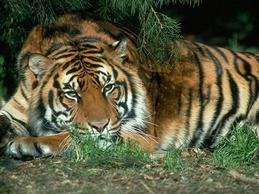MSMC87NZA c - Как выглядит везение - тигр чуть не догнал байкера