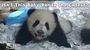 Isn't This Baby Panda The Cutest? | iPanda