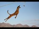 Malinois Master of the jump 2 Le maitre du saut 2 Belgian shepherd