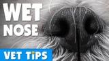 Почему у собак мокрые носы Why are dogs noses wet