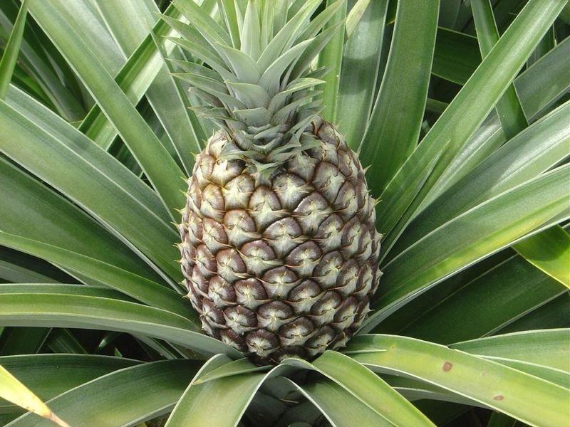 Сегодня узнал, как растут ананасы на самом деле