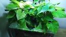 Ep.5 Sweet Potato Betta Tank (Kartoffel Gets Injured) No filter, No CO2, NO ferts 4.5 Gallon Nano