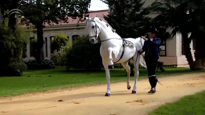 Caballo de pura raza español, en la ciudad de Córdoba, Andalucía.
