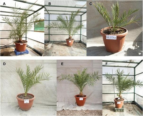 Ученые вырастили древнюю финиковую пальму из семян возрастом 2000 лет