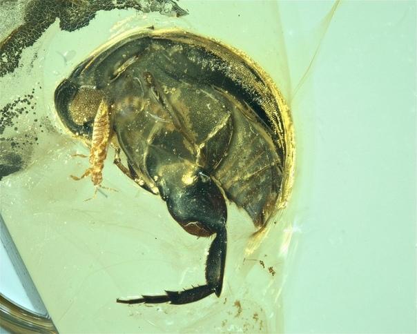 В янтаре найдено самое древнее насекомое-опылитель