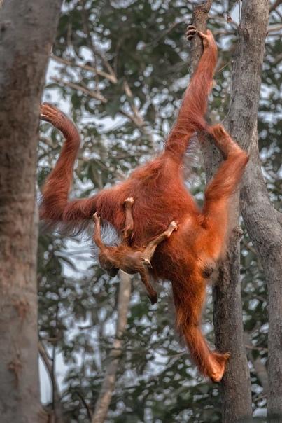 Самка орангутана с детенышем пытается достать на обед фруктов