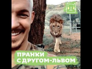 Пранки с другом-львом