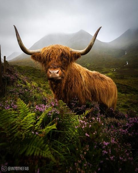 Высокогорная шотландская корова