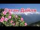Чай из лекарственной травы Саган Дайля Рододендрон Адамса полезные свойства противопоказания