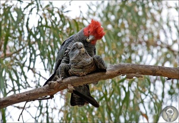 Шлемоносный какаду. Один из национальных символов Австралии, шлемоносный какаду (лат. Callocephalon fimbriatum) пользуется большой популярностью у жителей прибрежных районов южной и восточной