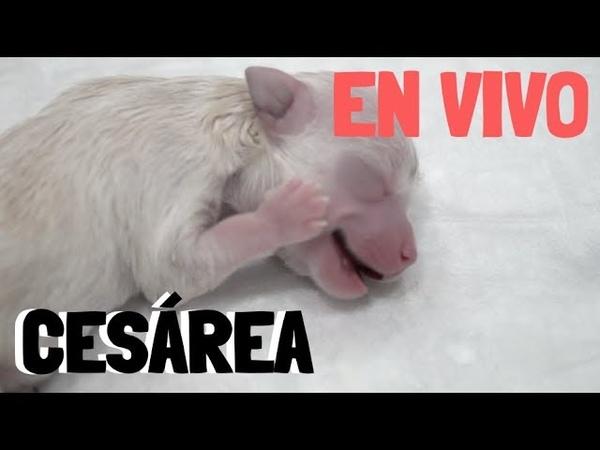 Кесарево сечение у собаки породы чихуахуа