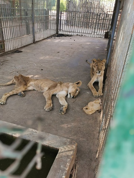 Житель Судана опубликовал фото голодающих львов. В соцсетях началась кампания по спасению животных Судя по фотографиям, львы голодают не первую неделю. Чиновники объясняют все экономическим