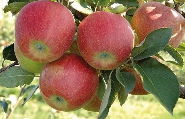 Как правильно ухаживать за яблонями, чтобы сохранить и увеличить урожай яблок.