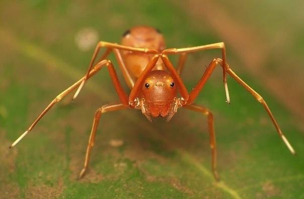 Это не фотошоп, а проявление культурной апроприации у животных  перед вам паук-скакун, который притворяется муравьем.