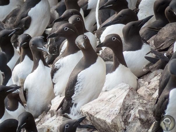 Толстоклювая кайра, или короткоклювая кайра - вид морских птиц из семейства чистиковых