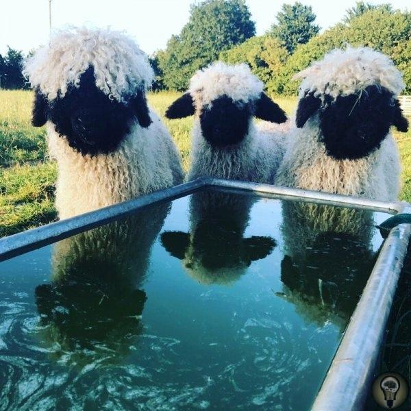 ЧЕРНОНОСЫЕ ОВЦЫ - МИЛАШКИ . Валлийских черноносых овец (Walliser Schwarznasenschaf) разводят в Швейцарии, в основном для мяса и шерсти. Это горная порода, хорошо приспособленная к пастбищному