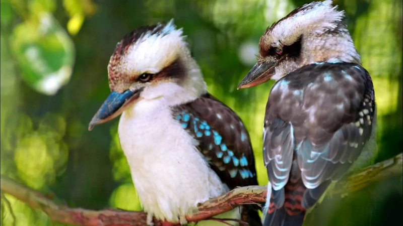 Голоса птиц Как поёт Кукабарра (Dacelo)