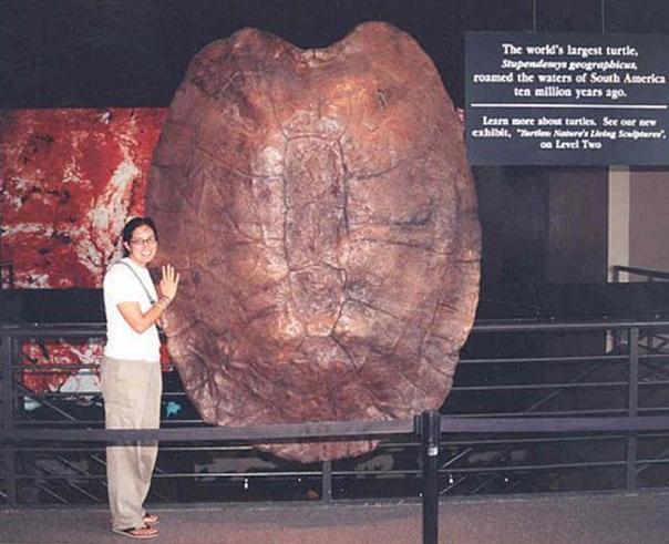 На этой фотографии запечатлен панцирь черепахи Stupendemys.