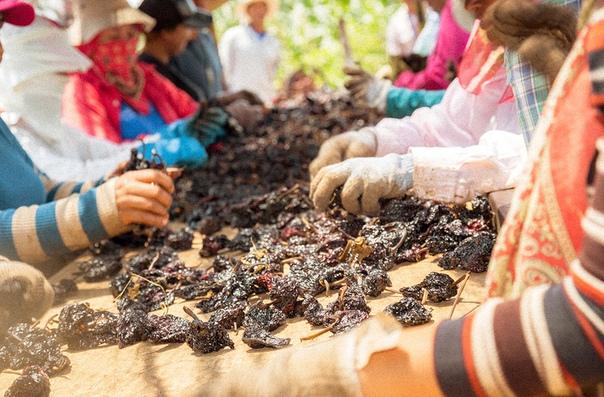 Как собирают перец чили в Мексике