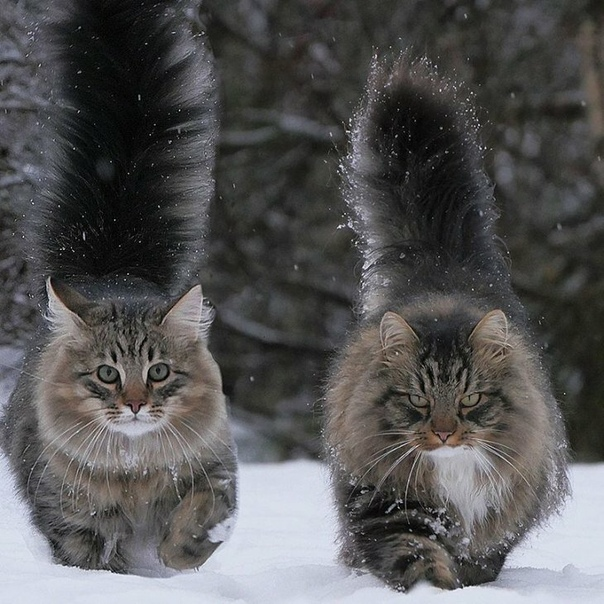 Финский кот Сэмпи и его приятели Семпи - это 6-летний домашний кот, беспородный, хотя выглядит как норвежская лесная