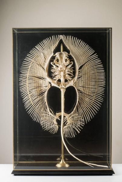 Так выглядит скелет пресноводного ската.