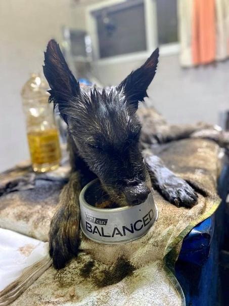 На спасение собаки потребовалось 8 добровольцев, 9 часов работы, 50 литров масла Аргентинская некоммерческая организация Proyecto 4 Patas недавно спасла собаку Алоэ, которая была полностью