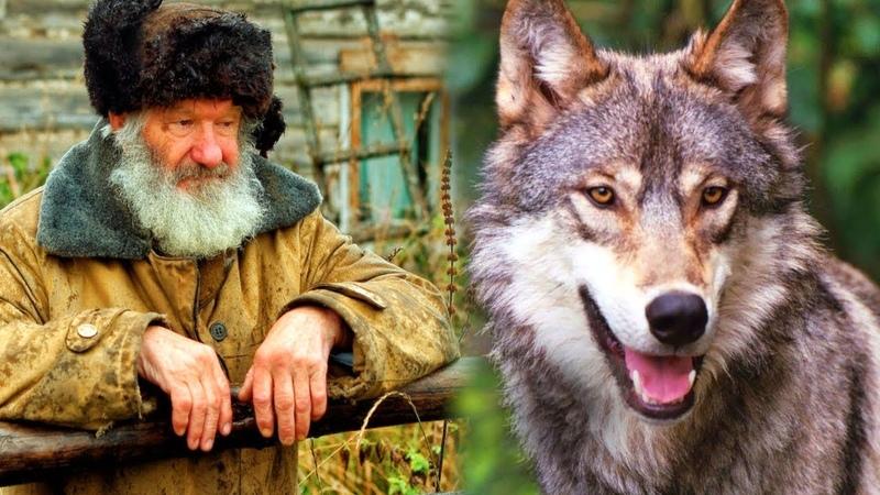 Дедушка спас беззащитного волчонка в лесу. А когда волчонок вырос отплатил своему спасителю добром.