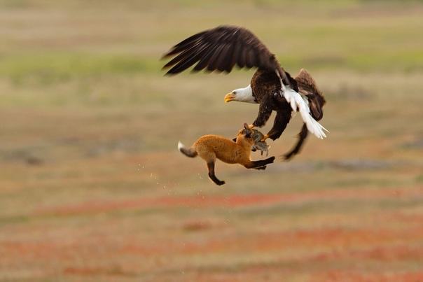 Белоголовый орлан и молодая лиса сражаются в воздухе за тушку кролика