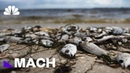Red Tide Devastates Coastal Communities And Marine Life, But What Is It Mach NBC News