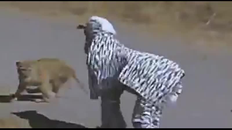 Переоделись в зебру, чтобы слиться с табуном... Львы оценили :-)