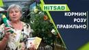 ПОДКОРМКА РОЗ 🌹 Пышная роза Летом ✔️ Советы от Хитсад ТВ