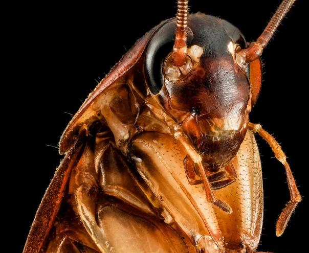 Тараканы умеют противостоять давлению, в 900 раз превышающему их собственную массу