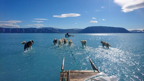 Снега нет, а мы и не заметили Ездовые собаки на северо-западе Гренландии. Фото Steffen M. Olsen