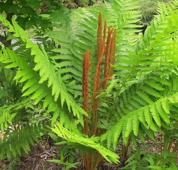 ОСМУНДА-ЧИСТОУС Семейство Осмундовые. Многолетник. Этот папоротник является одним из древнейших растений, которые когда-то росли по всей Земле. С крупными, перистыми, светло-зелеными листьями