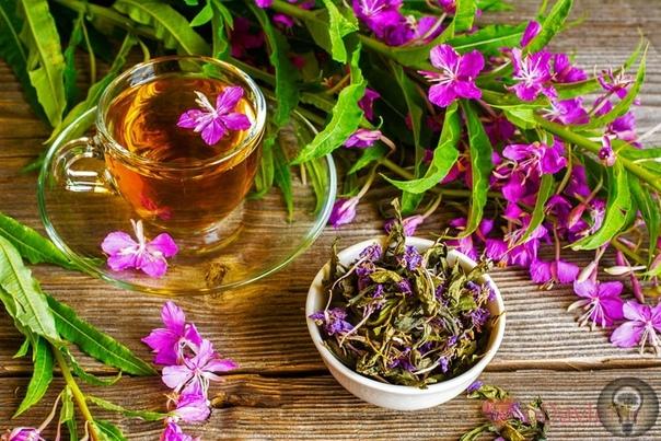 Иван-чай. Полезные свойства. Знаменит кипрей узколистный или иван-чай полезными свойствами, противопоказаний целебное растение практически не имеет. Растет преимущественно в лесах Дальнего