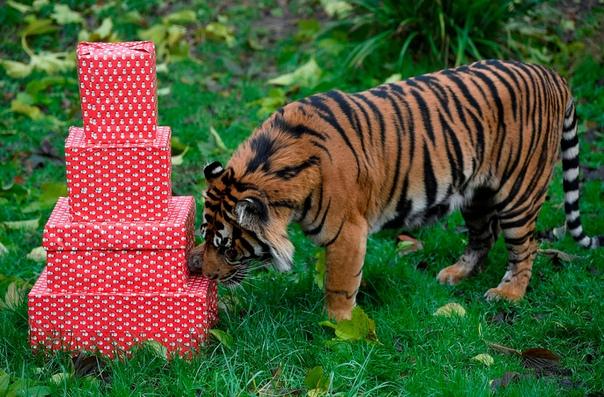 Суматранский тигр Асим исследует упакованную в виде рождественских подарков еду в Лондонском зоопарке, Великобритания