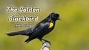 The Golden Blackbird Andrew Lang