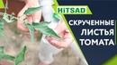 СПАСАЕМ ТОМАТЫ 🍅 Скручивание Листьев 🍅 Советы От Хитсад ТВ