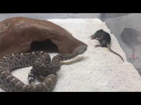 Rattlesnake live feeding clips! (Live mice striking) venomous