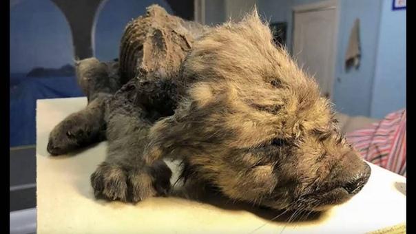 В Якутии найден щенок неизвестного животного возрастом 18000 лет Мировая наука обсуждает великолепную и в то же время провокационную находку под Якутском в вечной мерзлоте найден почти идеальный