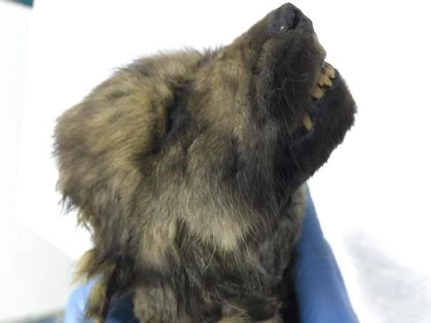 В Якутии найден щенок неизвестного животного возрастом 18000 лет