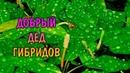 ДОБРЫЙ ДЕД ГИБРИДОВ