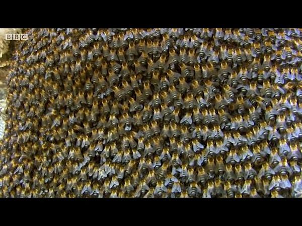Удивительный способ защиты у пчёл — мерцание. Так они защищают свой улей от гигантских шершней.