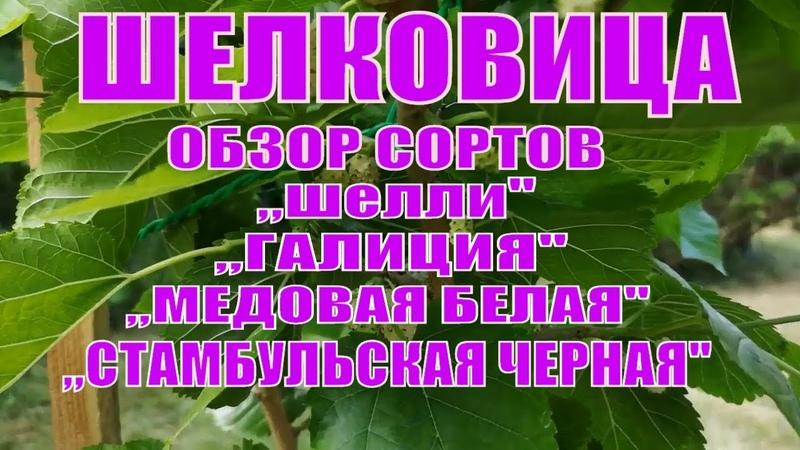 ЛУЧШИЕ СОРТА ШЕЛКОВИЦЫ КРУПНОПЛОДНОЙ.