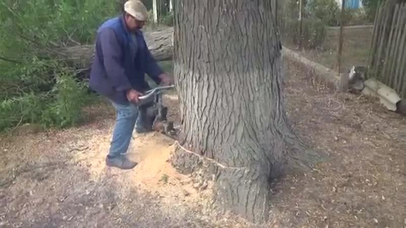 Пилят толстое дерево бензопилой Урал