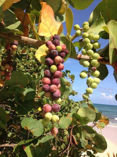 Морской виноград (Coccoloba uvifera)