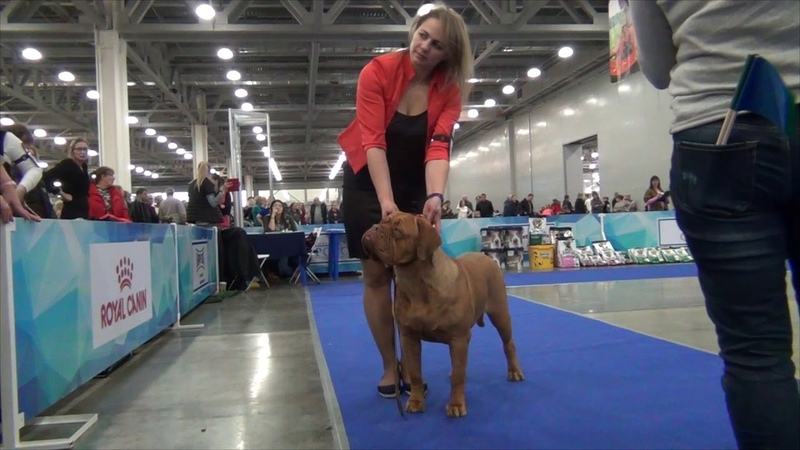 19.11.2017 the ring of the Dogue de Bordeaux/ринг бордоского дога/Moscow